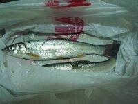 これはなんという魚でしょうか? 木曽川河口、夜釣りでつれた魚です。全長20センチ 胸ヒレはほんのり茶褐色です。エサはアオイソメです。
