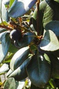 ブルーベリーに似た実をつける小さな木の名前を教えて下さい。
