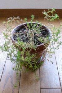 ダールベルグデージーの切り戻し時期について、教えて下さい。 越冬したであろう、ダールベルグデージーがあります。 去年9月に買って、花が咲いた後、切り戻しをしなかったので、伸びた茎の根元が枯れこんでき...