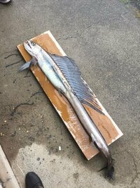 これ何ていう魚かわかる人居ますか?