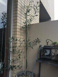 オリーブの木の幹はどうしたら太くなりますか? 去年買ってきてすぐに植え替えて上の方へはかなり伸び160センチくらいありますが幹は細くヒョロヒョロです。 観賞用に購入したのですが品種は わかりません。高...