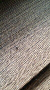 最近てんとう虫の小さいバージョンみたいな虫が部屋に出没します。ちなみに窓は24時間締め切ってますが、窓周辺によく見ます この虫の名前を教えてください