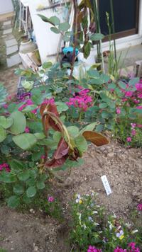 去年植えた、何本かの地植えバラの新芽の先端が写真のように萎れてきています!スミチオンなどの殺虫剤や殺菌剤は定期的に散布、水も毎日あげているのですが、原因は何でしょうか? 予想ですが ①バラゾウムシ ②連日の異常な暑さにより新芽が萎れた  これ以外に考えられる原因はありますか?
