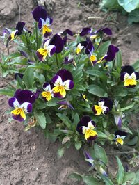 この花の名前を教えてください。畑に勝手に生えて来たのですが、綺麗なので植え替えて楽しんでいます。雑草?