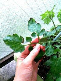 プランター菜園初心者です。 GW前にミニトマトを植えたんですが所々葉っぱが枯れてきています(;o;) 何かの病気でしょうか?対処法はあるのでしょうか? どなたか教えてください!
