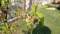 照手桃の葉の変色について 去年植えた照手桃ですが、葉が赤くなり枯れる?様な感じです。 最初は普通に緑色なんですが、徐々に赤くなり膨らむ感じ? です。 これは病気かなんかなのでしょうか。 ご存じの方が...
