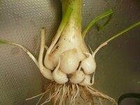 野菜栽培初心者です。ニンニクの収穫をしましたが写真のような普通のニンニクと違う形になっています。次回、栽培するときこのようにならないためにはどうしたら良いでしょうか? また、このニンニクは食べれますか(使うことはできますか)?