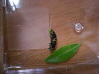 アゲハの幼虫これは病気なのでしょうか? アゲハ蝶の幼虫をミカンの木で飼っているのですが、 今朝、土の上に落ちていたクロちゃんを見つけてすぐに拾い上げました。 すると上半分はクロちゃんで足元と顔の一部分だけミドリちゃんでした。  本人は一生懸命生きようとしているのですが、このように体が安定せず 起こしてあげてもまた倒れてしまい弱っているようです。 葉っぱを食べようともしてくれません...