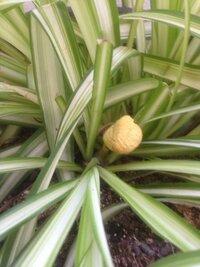 観葉植物から黄色いキノコが生えてきました。どんなキノコですか?