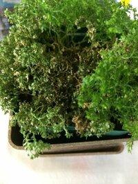 セラギネラという植物を買ってきたのですが写真のように葉が茶色くなってしまいました。育て方を調べて育ててみているのですがやはり水やりなどのやり方がいけないのでしょうか? 普段、カーテンをしている窓の近...