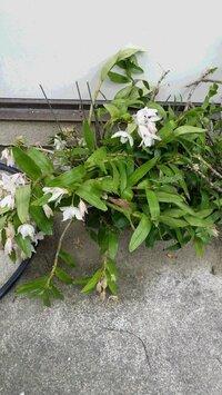 デンドロビウムが花後こんな姿になりました。 どのような手入れをすればいいですか? 教えてください。