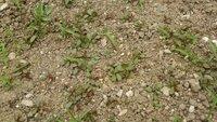 雑草について教えて下さい。 画像の、茎の赤い丸い葉の雑草が、数年に一度大発生します。 すぐに大きくなり、取ってもすぐ生えてきて困ってます。 対策法をご存知のかた、教えて下さい。 よ ろしくお願いいた...