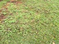芝生の雑草対策について皆さんの意見を聞かせて下さい。 写真のような場合どのような対応がベストですか?  今はひたすら手でムシってますがキリがありません、、、