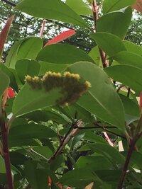ベランダの葉っぱに大量の虫がいました。 何の虫かわかる方いらっしゃいますか? 気持ち悪くてあまり近くで撮れなかったので画像悪いですが、よろしくお願いします。