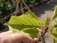 桜の葉の、赤い斑点上のモノ・・・この症状は何でしょうか? 病気あるいは害虫による物でしょうか? 対処法もあれば、教えて下さい。  ※写真、添付