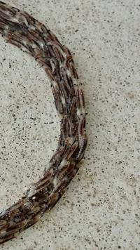 虫について教えて下さい。 今朝、家の洗濯干場下のコンクリートの上で輪になってる物が見え、ジックリ見ると1㎝位の虫が沢山列なって円を描いてるんです。  この虫何か分かりますか?  何か害になったりしないか...