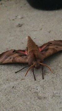 数日まえから、玄関下にいる蛾。種類が知りたいです。