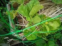 ネットメロンの栽培で、親蔓3節目に自然着果してました❗ これをこのまま育てても大丈夫ですか?  普通、親蔓を5節くらいで摘心して子蔓を伸ばして実を着けて、その先は切るのがいいと思いますが、そうしなかった...