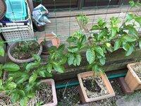 昨年の夏は一度も咲かなかったパッションフルーツ今年も一鉢つづ3本植えました。昨年と同じやり方でしたが最初から子株が出てくる前から3個実を付けました。 今は子株に沢山の蕾を付けて(3本で12個)なっていますが昨年と同じはずなのに昨年はならなかったのか不思議です。  結局おつるボケとなりましたが茎が太く葉は青々として、、これも気候の関係があるのでしょうか?今年は寒い温度から一気に暑くなり(2...