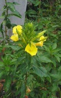 空き地の端っこに咲く黄色い花の雑草の名前をおしえてください。 背丈は50cmくらいです。
