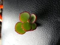 こちらのふちがピンクの植物の名前をわかる方いらっしゃいましたら教えてください。多肉植物でしょうか?よろしくお願いいたします。
