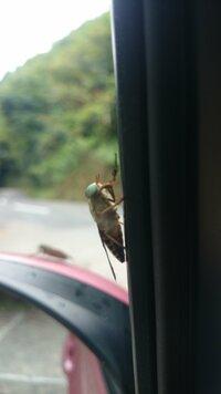 この虫はなんでしょう?  ハエにしては大きくて車にボンボンぶつかってきます  約1㎝くらいです
