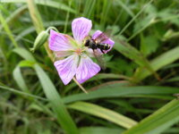 薄紫色で花弁が5枚の、この花は何でしょう? 群馬県の1500mの開けた山頂に咲いてました。  オシベもメシベも5本あります。 背の低い草です。 アブが止まってます。