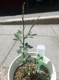 カラタチの実生苗は、1年でどれくらい伸びるのが普通なのでしょうか? カラタチの種を3月下旬に購入し、素焼き鉢と、庭の畝に蒔きました。  4月下旬に発芽し、素焼き鉢で発芽した実生苗は、用土(ハイポネッ...