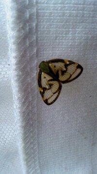 昼間、洗濯物に泊まっていました。 綺麗な文様の羽に見とれましたが、どなたかご存じの方がおられましたらお教えください。  一円玉程度の大きさです。