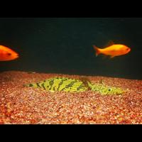 ポリプテルス・エンドリケリの幼魚の写真に対して貰った英語のコメントを訳してください! What its call? And also the gill will it be gone when they grow up.  英語に関しての質問ですが、魚の特徴もわかる...