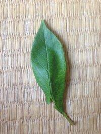 これってグミの葉っぱですか? わからなくて困ってます。 それともバラ科の植物ですか?