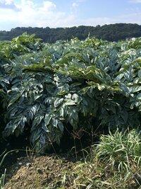 田舎道を走っていたら この植物がたくさん畑みたいに植えられていました。 なんの野菜?でしょうか?