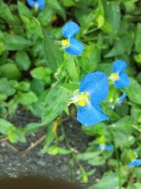 道端に咲くこの小さな青い花の名は?    9月18日に撮影しました。 ふと道端に目をやると、小さな青い花が咲いていました。 この花の名前は何なのでしょうか? 回答よろしくお願いします!!