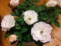 ミニバラの名前を知りたいのですが。 フォーエバーローズをホームセンターで 購入しました。 淡いサーモンピンクの蕾が開くと、白色で縁が淡いピンク。一気に平咲きになります。 タグはフォーエバーしかなく、蕾...