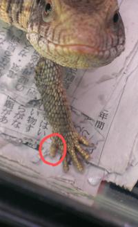 飼っているトカゲ(サバンナモニター)の指が腫れている気がするのですが、どう思いますか?(写真載せます) 昨日脱皮の皮が残っていたので取りました。 食欲元気はあります。 あと、買った当初 から爪が生えてい...