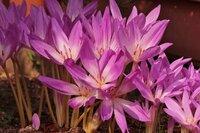 この花の名前(種類)を教えてください。サフランでしょうか。サフランモドキでしょうか。 9/23〔広島県北東部〕