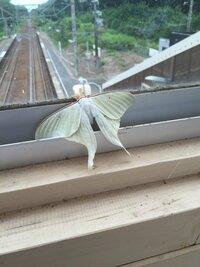 この蛾って何という奴ですか? あと珍しい種なのですか?
