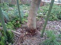 オリーブアナアキゾウムシにやられた木の処置について教えて下さい。  露地に植えつけて二年ほど、高さ180センチくらいのオリーブの木に数週間前からアナアキゾウムシが付いていました。 今 まで農薬は全く撒いていませんでした。 今年が初めてで無知だったのと虫嫌いなので放置していましたが、数日前7匹ほど捕殺しました。 その時は穴に気付かなかったのですが、少し幹の根元を掘ってみると二箇所穴が...