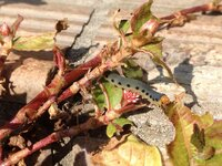 《質問》《画像あり》ニョッキに良く似た芋虫が家の庭にいました。虫に詳しくないのですが、この虫についての詳細が知りたいです。どなたか詳しい方教えていただけないでしょうか…!名前だけで も結構です…。ご協...
