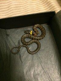 静岡県沼津市の山で見つけたのですが、これは何という名前のヘビでしょうか?