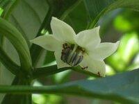 ピーマンの花にアリがたくさんついています  このアリは何をしていますか?