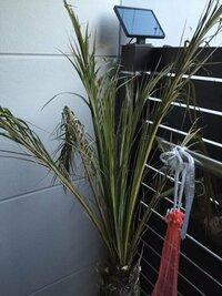 フェニックス復活できますか?真ん中の芽は、引っ張っても抜けません。根も生きてるようです。