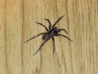 この脚長の黒い蜘蛛の名前を教えて下さい。 家の中に出ました。脚が長いです。脚を入れてせいぜい4〜5cm程度の大きさなのと、色が黒いです(暗い所だからそう見える? ) 歩くのが速いです。ぴょんぴょん跳んだり...