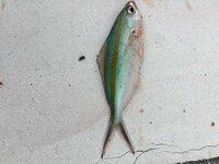 船着場でつりました、10センチくらいでした。何の魚でしょうか?