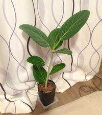 観葉植物フィカスの茎を太く立派に、オシャレに育てるコツをご伝授願います。 先日、ホームセンターで激安だったフィカスを購入しました。調べたところフィカスベンガレンシスではないかと思います。 激安だった...
