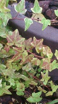 このところ紅葉し始めました。  この『アイビー』の名前がお分かりの方、教えて下さい。 宜しくお願いします。