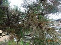 移植後2年の幹太さ20cm、樹高4mの松ですが、最近枯れ葉が目立ち、一部は枝全体が枯れています。 元気は枝は元気なのですが、このまま放っておくと全体が枯れてしまう恐れもあり、何とか対策を考えたいと思っています。アドバイスをお願いします。