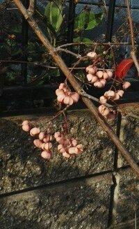この低木のピンク色の実らしきものはマユミでしょうか??