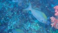 この魚の名前を教えてください。 タイ アンダマン海 シミランでのダイビングで 撮りました。