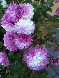 白と薄紫が混じった菊の花を見つけました。 何と言う園芸品種なのでしょうか? どなたか、ご教えてください。
